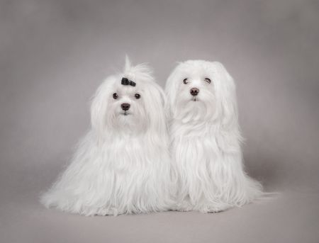 bichon: Two Maltese Dog , couple Stock Photo