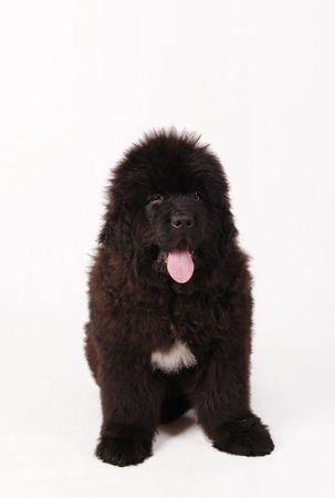 Terranova perro cachorro  Foto de archivo - 2559070