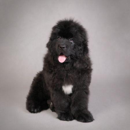 Newfoundland Dog Puppy