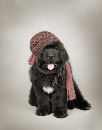 Newfoundland Dog Puppy with hat Stock Photo