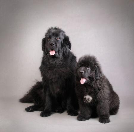 cane terranova: Cane di Terranova, con Puppy madre