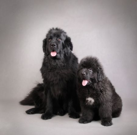 Newfoundland Dog Puppy with mother