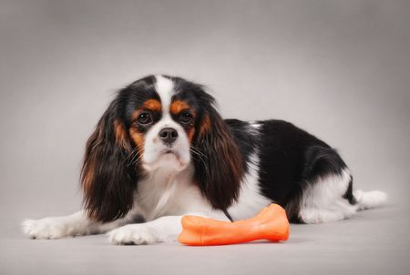 CAVALIER KING CHARLES SPANIEL with toy