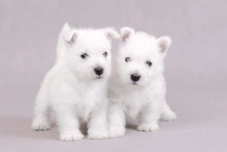 West Highland White Terrier puppies portrait photo