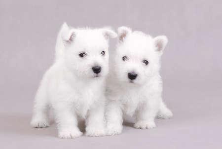 West Highland White Terrier puppies portrait