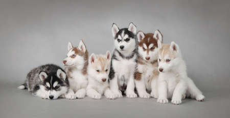 dog sled: Six Husky dog puppies portrait