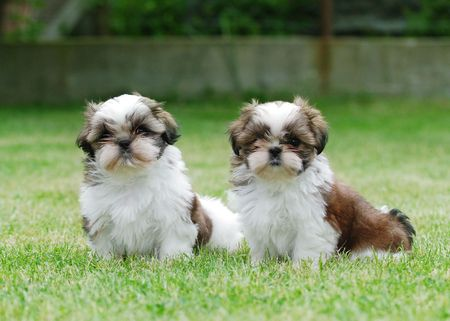 Two Shitzu puppies