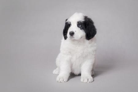 Little Landseer(newfoundland type) puppy portrait at grey background