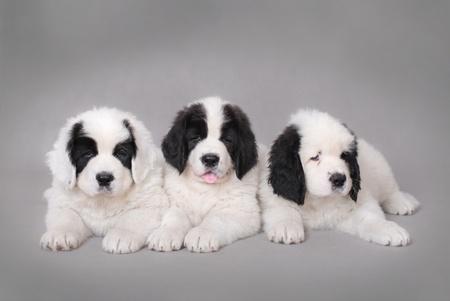 Three Little Landseer(newfoundland type) puppies portrait at grey background