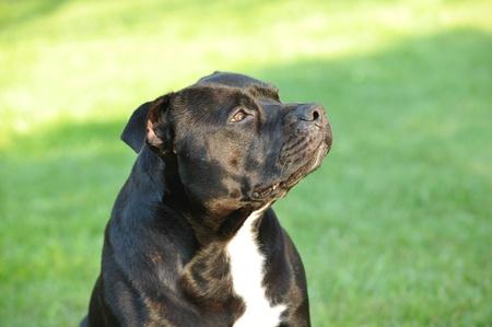 american staffordshire terrier portrait  photo