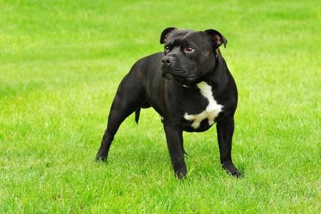 amstaff: american staffordshire terrier portrait