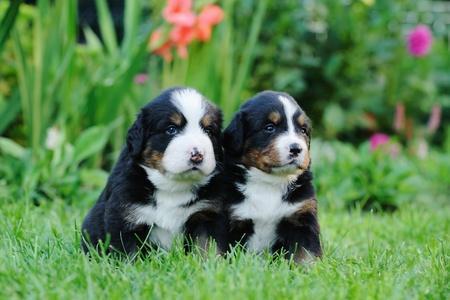 Two Bernese Mountain Dog portrait in garden