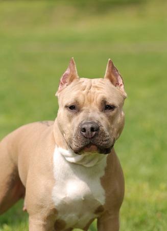 american staffordshire terrier: American Staffordshire Terrier portrait  Stock Photo