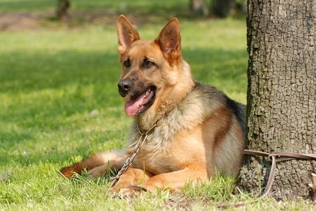 attach: Pastor alemán perro retrato Foto de archivo