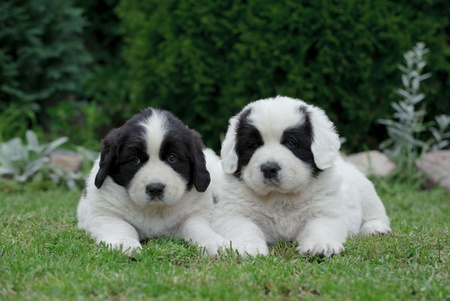 black and white newfoundland dog: Two little Landseer(newfoundland type) puppy portrait in garden