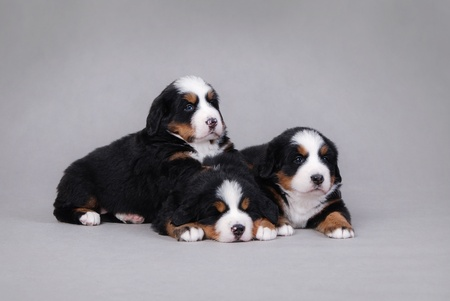 cynology: Three Bernese Mountain Dog portrait at grey background