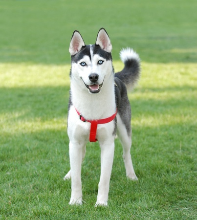 Siberian Husky dog portrait in garden