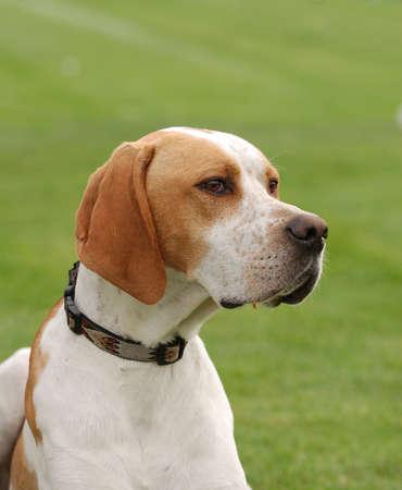 English Pointer dog puppy portrait in garden Stock Photo