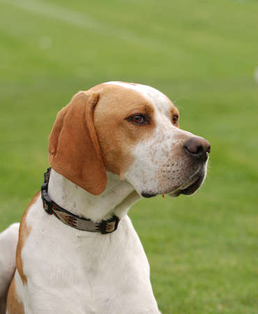 pointer dog: English Pointer dog puppy portrait in garden Stock Photo
