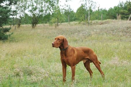 pointer dog: Vizsla  Hungarian Vizsla dog portrait in garden Stock Photo