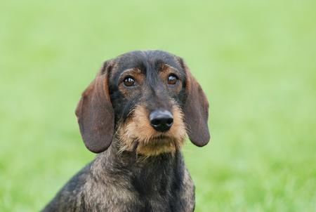 Wire-haired dachshund dog portrait in garden photo