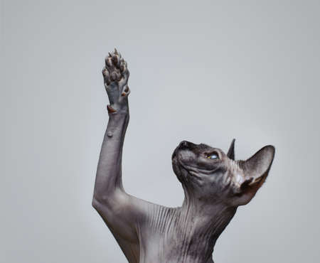 Canadian sphynx cat  lifting its paw photo