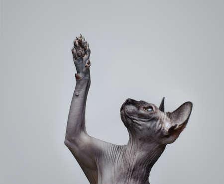 playful behaviour: Canadian sphynx cat  lifting its paw
