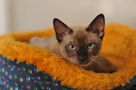 blue siamese cat: Siamese cat Stock Photo
