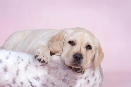 Labrador puppy on pink backround Stock Photo