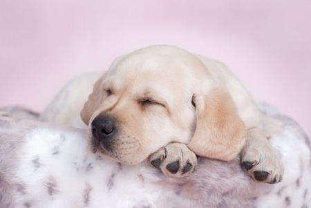 Sleeping labrador puppy at pink background Stock Photo