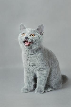 British shorthair kitten Stock Photo - 12220703