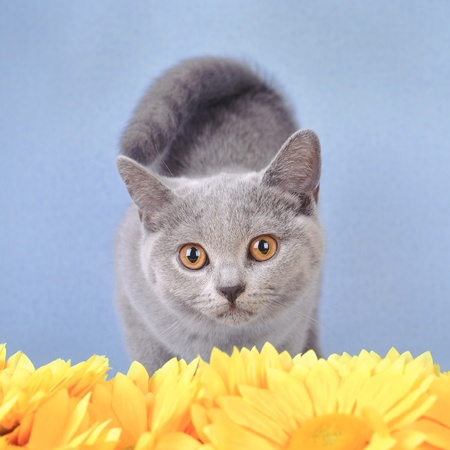 british shorthair: British shorthair kitten with flowers