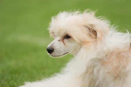 powder puff: Chinese crested dog - Powder Puff