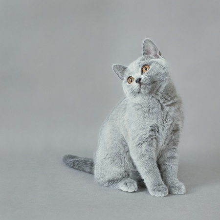 British shorthair kitten Stock Photo - 12220706