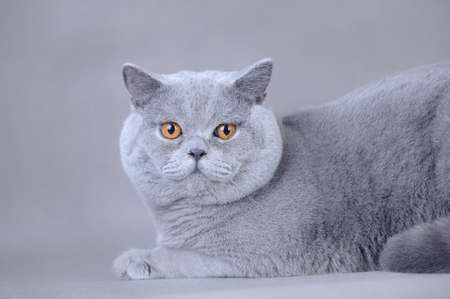 british shorthair: British shorthair cat portrait at grey background