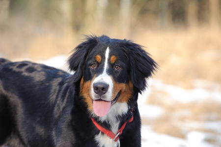 Bernese Mountain Dog winter portrait photo
