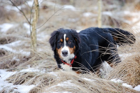 berner: Bernese Mountain Dog winter portrait