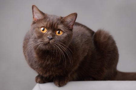 Chocolate British shorthair cat photo