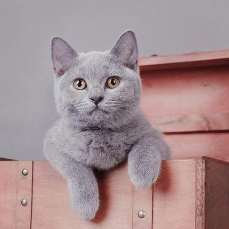 playful behaviour: British shorthair kitten