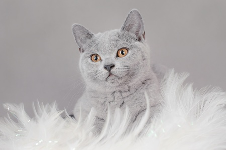 british shorthair: British shorthair kitten
