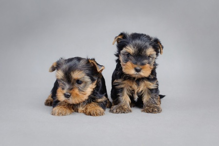 Two Yorkshire terrier Dog puppies portrait Stock Photo - 12674784