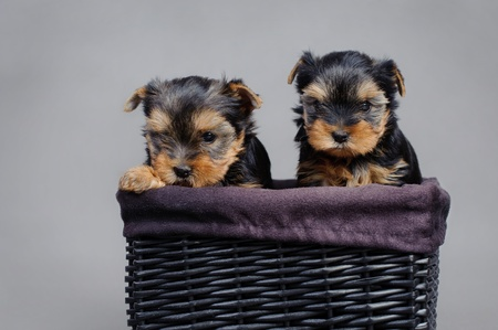 Two Yorkshire terrier Dog puppies portrait photo