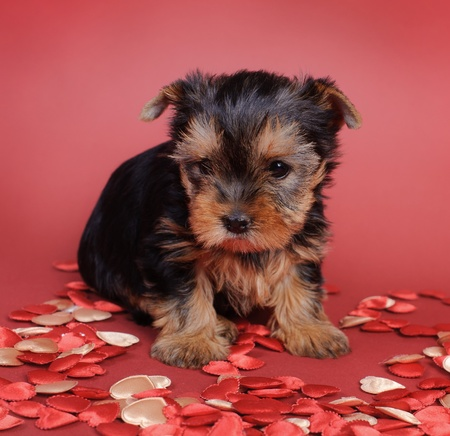 Two Yorkshire terrier Dog puppy portrait Stock Photo - 12674791