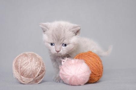 woll: British shorthair kitten with balls of wool