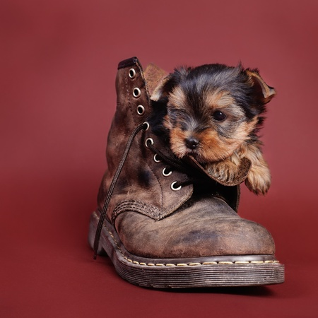 combat boots: Two Yorkshire terrier Dog puppy portrait in combat boot
