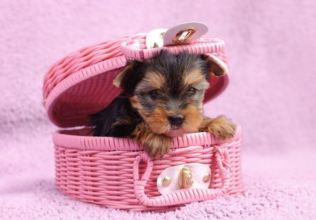 Yorkshire terrier dog puppy portrait photo