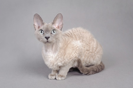 devon: Devon Rex cat