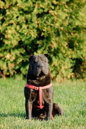 sharpei: Shar-pei dog portrait in garden
