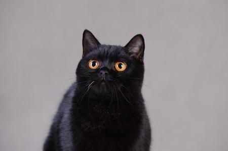 Black  British shorthair cat Stock Photo - 12674798