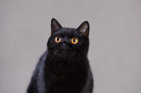 Black  British shorthair cat Stock Photo - 12674798